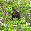 Stock Photo: Howler Monkey