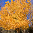 Yellow Tree in Fall - Stock Photo