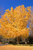 Yellow Tree in Fall — Stock Photo