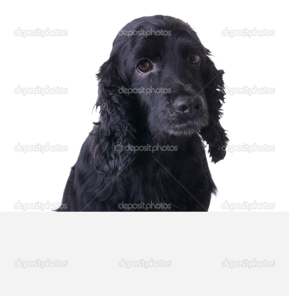 Sad Cocker Spaniel Dog above white banner. Add your text underneath. — Stock Photo #2342179