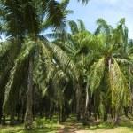 Palm Oil Plantation. — Stock Photo