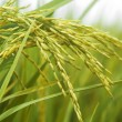 Paddy rice. — Stock Photo