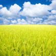 Paddy rice field. - Stock Photo