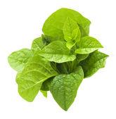 Malabar spinach. — Stock Photo