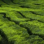 Tea plantation. — Stock Photo