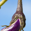 Aubergine - Stock Photo