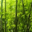 Bamboo forest — Stock Photo #2368312
