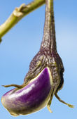 Aubergine — Stock Photo