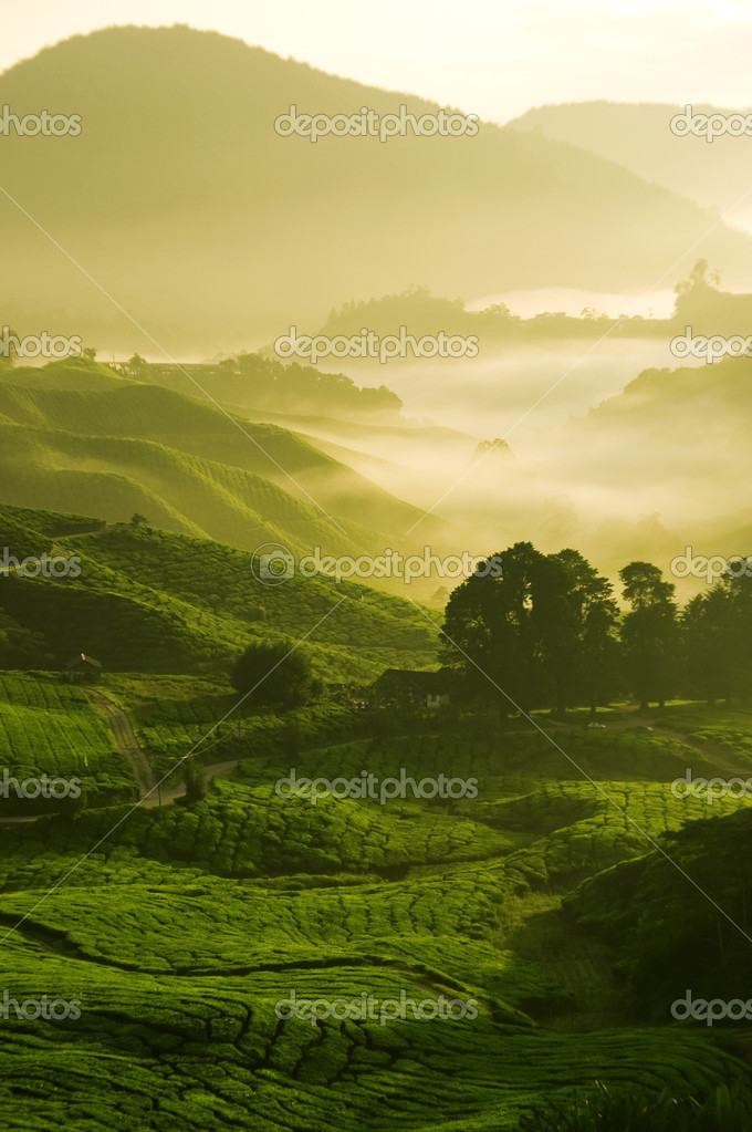 Misty morning in tea farm at Cameron Highland Malaysia  — Stock Photo #2364210