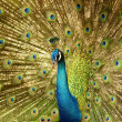 Stock Photo: Peacock.