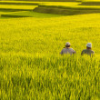Terrace rice fields. — Stock Photo