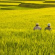 Terrace rice fields. — Stock Photo #2375609