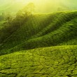 Tea Plantations. - Stock Photo