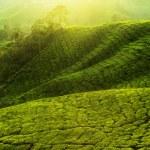 plantaciones de té — Foto de Stock