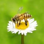 Honey bee — Stock Photo #2379710