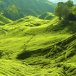 Tea farm — Stock Photo #2379939