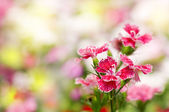 Dianthus chinensis çiçek — Stok fotoğraf