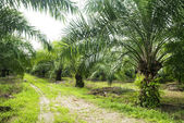 Palm Oil Plantation. — Stock Photo