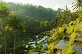 Terrace rice fields. — Stock Photo