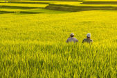Terrace rice fields. — 图库照片