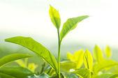 Tea leaves. — Stock Photo