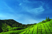 Tea Plantations. — Stock Photo