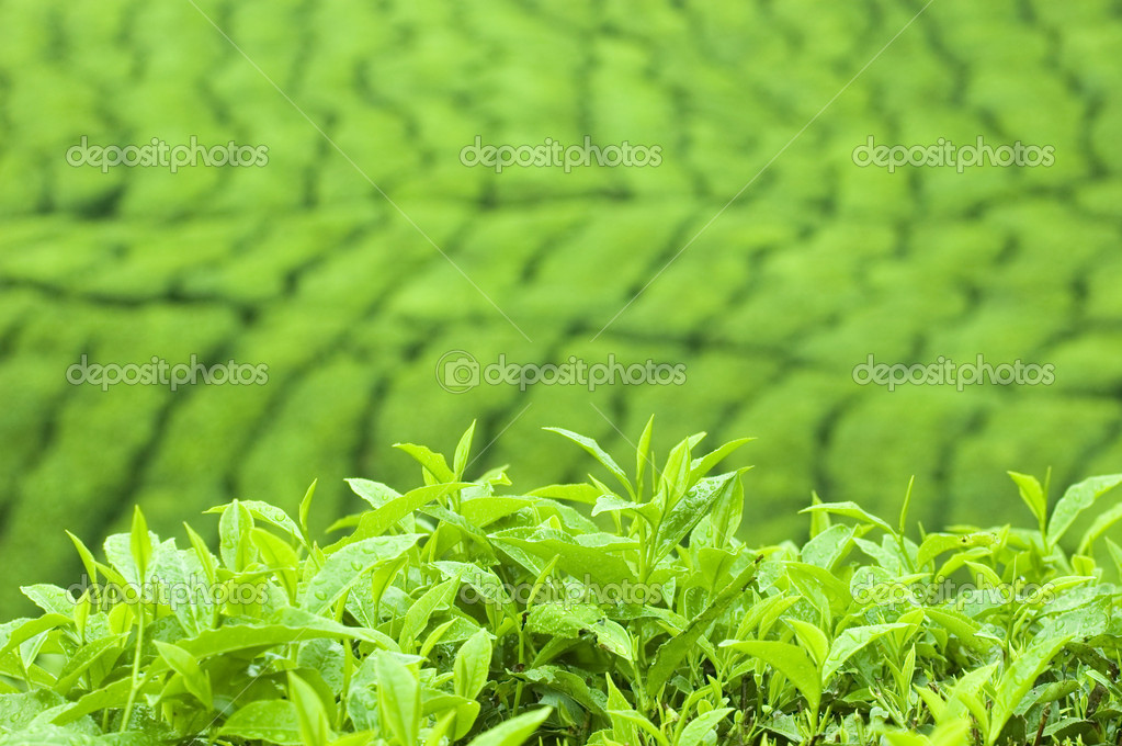 Tea Leaf with Plantation in the Background (Morning)  — Stock Photo #2379466