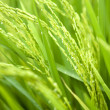 Paddy rice — Stock Photo #2452681