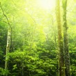 Green forest — Stock Photo #2489632