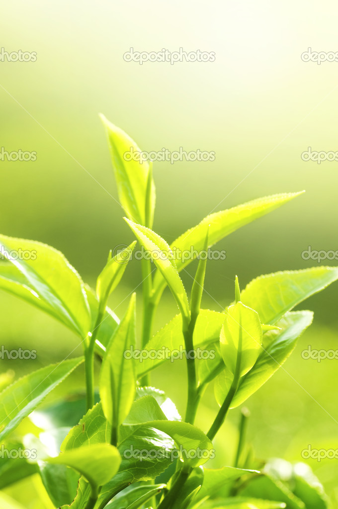 Tea Leaf with Plantation in the Background (Morning)  Stock Photo #2490055