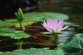 Lotus in a pool in Central Park — Stock Photo