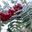 Rowanberry covered rime - Stockfoto