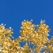 Royalty-Free Stock Photo: Yellow sheet poplar, blue sky