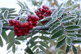 Rowanberry covered rime — Stock Photo