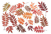 Rowanberry sheet background — Stock Photo