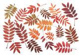 Rowanberry sheet background — Stock Photo
