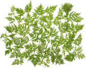 Green herb — Stock Photo