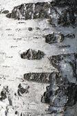 Birch cortex — Stock Photo