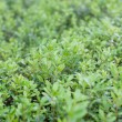 Green sheet of cowberry — Stock Photo #2495479