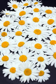 Camomile on dark gray background — Stock Photo