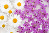 Daisywheels and violet flower — Stock Photo