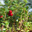 Cowberry — Stock Photo #2549997