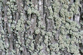 Moss on cortex tree — Stock Photo