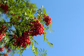 Branch of rowanberry — Stock Photo