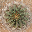 Cactus with sharp needle — Stock Photo