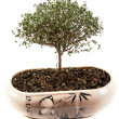 Dry green tree in japanese pot - Stock Photo