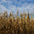 Dry cornfield — Stock Photo