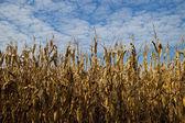 Dry cornfield — Stock Photo