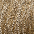 Royalty-Free Stock Photo: Closeup of dry wheat