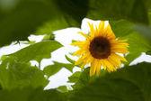Sunflower green background — Stock Photo